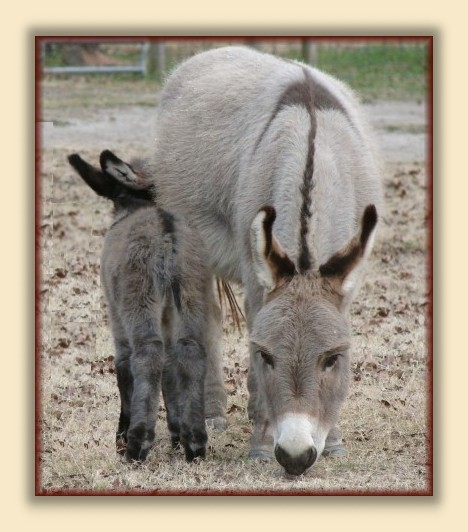 Quarter Moon Ranch; Breeder of Registered Miniature Donkeys, Quality Breeding Stock, and Lovable Pets.  Miniature Donkeys FOR SALE at all times. email carolyn@quartermoonranch.com